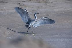 India, 22 March, 2021 : Heron on the beach, heron, Egret, wetland, wading bird, waterfowl, Coastal bird, Aquatic bird, Shorebird.