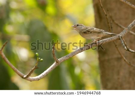 India, 16 March, 2021 : House sparrow, Passer domesticus, Sparrow, small bird, Song bird, Passer, Tree, branch, branches, Yellow, Green, Brown, Backyard bird, Garden, perched bird. Foto stock ©