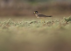 India, 16 March, 2021 : Lapwing bird. Yellow wattled lapwing bird standing on ground. The yellow-wattled lapwing is a lapwing that is endemic to the Indian Subcontinent. Vanellus malabaricus.