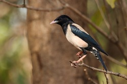 India, 15 March, 2021 : The rosy starling is a passerine bird in the starling family, Sturnidae, also known as the rose-coloured starling or rose-coloured pastor.