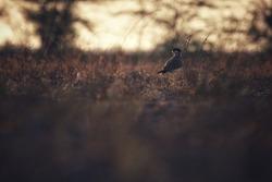 India, 8 May, 2021 : Yellow-wattled lapwing, A lapwing, Vanellus malabaricus, Ground bird, unmistakable bird, Night bird.