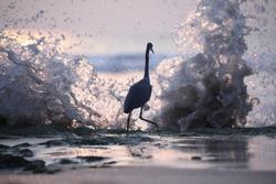 India, 9 November, 2020 : A heron at the beach.