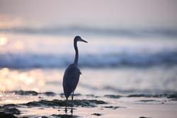 India, 9 November, 2020 : A heron on the beach.