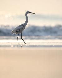 India, 3 November, 2020 : An egret at the beach.