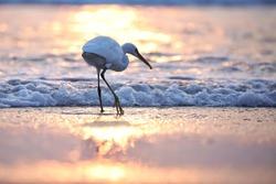 India, 11 November, 2020 : An egret on the beach, heron, Egret, beach, wading bird, waterfowl, shorebird, Coastal bird, water bird, Sunset on the beach.
