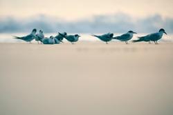 India, 3 November, 2020 : Flock of terns, Flock of birds, Flock, Terns, Tern, wading bird, waterfowl, Shoreline, Shorebird, Coastal bird, Aquatic, beach, sea, Ocean, wetland.