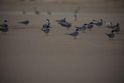 India, 4 November, 2021 : Flock of terns, Flock of birds, Tern, Terns, Seabirds, Seabird, water bird, Skimmers.
