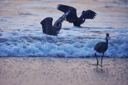 India, 9 November, 2020 : Heron on the beach, heron, Egret, beach, wading bird, waterfowl, Shorebird, Coastal bird, water bird.