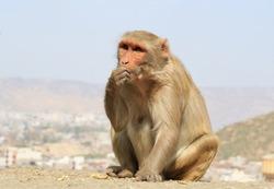 India, Rajasthan, Jaipur, indian infant Macaque monkeys taken in Galata