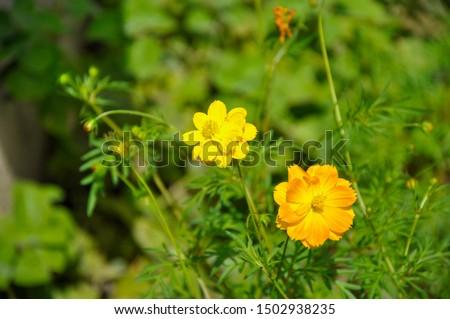 India's Orange Cosmos and Yellow Cosmos flower