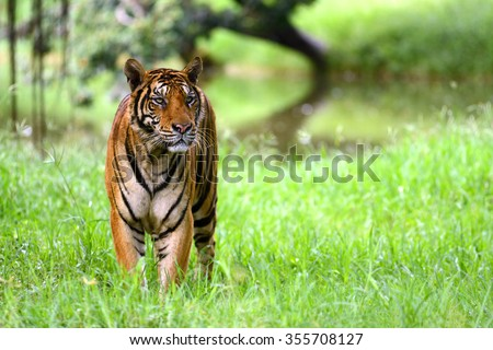 Shutterstock India Tiger standing at indian forest