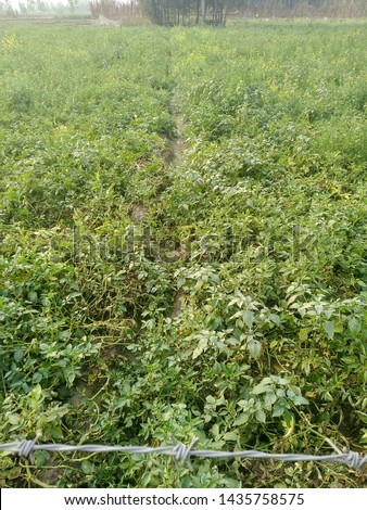 indian agricultural field...potato field and musturd field