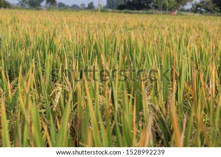 indian agriculture fields.. rice fields.. paddy fields for wallpaper background picture