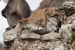 Indian baby Monitor Lizard climbing on rock where a furry Langur monkey is sitting in wildlife concept.
