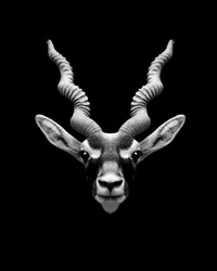 Indian black buck with long Horns against black background