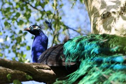 Indian blue peacock, Pavo cristatus, male roosting in a tree with a background of blurred tree leaves, branches and blue sky.