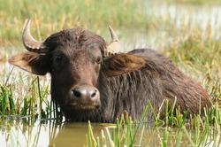 Indian buffalo grazing in marshy swamp area