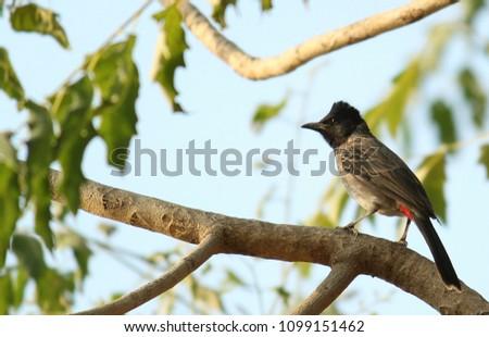 Indian Bulbul bird HD stock image, beautiful bird of india