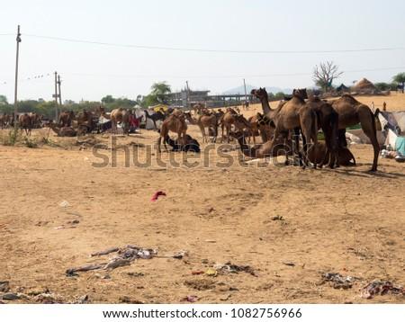 Indian Camels in Desert #1082756966