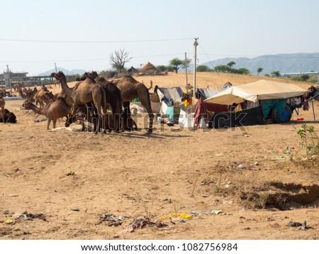Indian Camels in Desert #1082756984