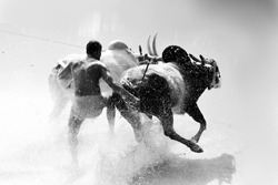 indian cattle race  ( maramadi) black and white