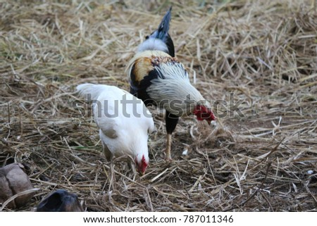 Indian Cock and hen  #787011346