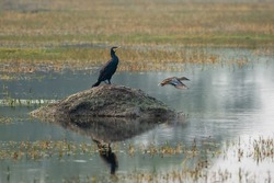Indian cormorant or great cormorant or large black cormorant with reflection in water at keoladeo national park or bharatpur bird sanctuary rajasthan india
