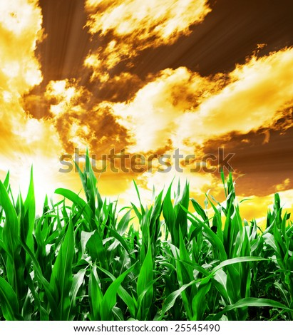 Indian corn field under yellow stormy sky