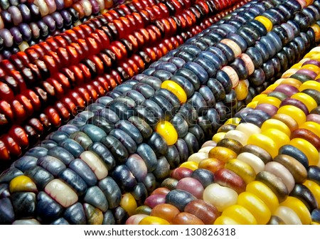 Indian Corn:  Variegated maize ears display a variety of decorative colors.