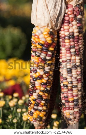 Indian corn with fall colors in the background. #62174968