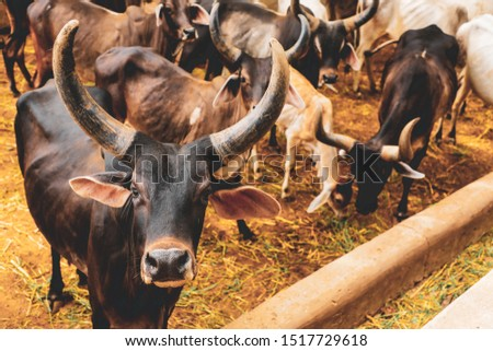 Indian COW Indian Dairy Farming Indian Cattle stock image full HD