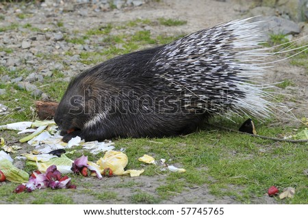 Indian Crested Porcupine (Hystrix indica) eating vegetables