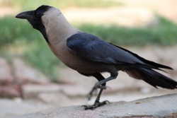 Indian crow a bird commonly found in south asian region this crow is also known as The house crow,  Indian, greynecked, Ceylon or Colombo crow