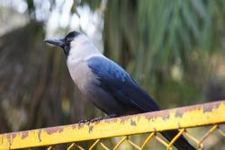 Indian crow sitting on fence - Bird