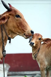 Indian Desi Cow Love her Child