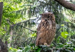 Indian eagle-owl, also called rock eagle-owl or Bengal eagle-owl (Bubo bengalensis). It is a species of large horned owl, with
