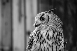 Indian Eagle Owl, Black and White portrait