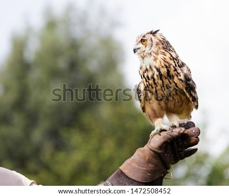 Indian Eagle Owl perched on handler's glove, ready to fly. Space for text