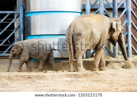 Indian elephant. Indian elephant this animal is very clever and extremely capable. Animals live in tropical and deciduous forests. #1203215170