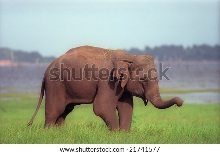 Indian elephant on grass field