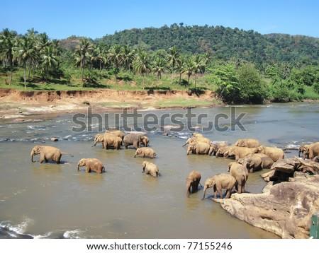 Indian elephant on Sri lanka. National Park - Yala. Ecological reserve.