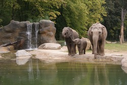 indian elephants at the zoo