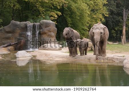 indian elephants at the zoo Stockfoto ©