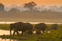 Indian Elephants from the wild