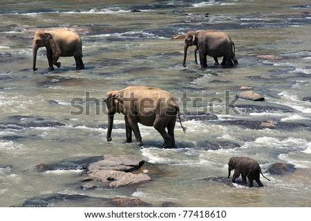 Indian elephants in a river, Pinnawela elephant orphanage, Sri Lanka