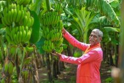 indian farmer examining at banana field