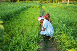 Indian farmers working in green agriculture field, man and woman works together pick leaves, harvesting , village life.