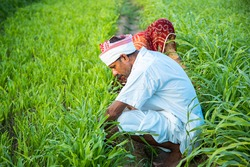 Indian farmers working in green agriculture field, man and woman works together pick leaves, harvesting , village life. copy space