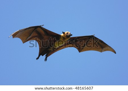 Indian Flying Fox at Tissamaharama, Sri Lanka