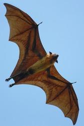 Indian Flying Fox flying over Tissamaharama, Sri Lanka
